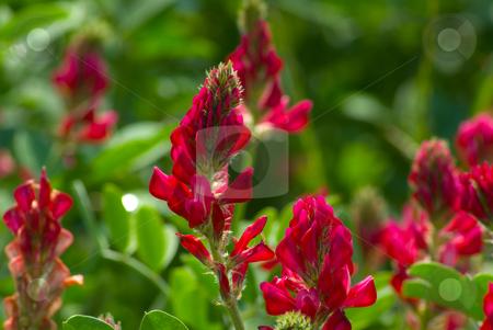 Inkarnat-Klee (Trifolium incarnatum) - Crimson clover stock photo, Der Inkarnat-Klee (Trifolium incarnatum), auch Blutklee oder Rosenklee genannt, ist eine Pflanzenart aus der Gattung Klee (Trifolium), die zur Unterfamilie Schmetterlingsbl?tler (Faboideae) der Pflanzenfamilie der H?lsenfr?chtler (Fabaceae) geh?rt. - Crimson clover (Trifolium incarnatum), also known as Italian clover, is a species of clover in the family Fabaceae, native to most of Europe. by Wolfgang Heidasch