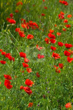 Mohnbl?ten - Poppy stock photo, Der Klatschmohn (Papaver rhoeas), auch Mohnblume oder Klatschrose genannt, ist eine Pflanzenart aus der Familie der Mohngew?chse (Papaveraceae).  The Corn Poppy, Field Poppy, Flanders Poppy, or Red Poppy is the wild poppy of agricultural cultivation by Wolfgang Heidasch