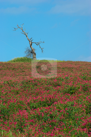 Alter Baum auf einer Blumenwiese - Old tree on a flower meadow stock photo, In der Toskana, Italien - In Tuscany, Italy by Wolfgang Heidasch