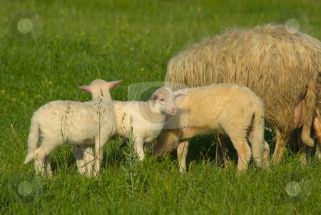 Schafe auf der Wiese - Sheep on a meadow stock photo, Das Hausschaf (Ovis orientalis aries) ist die domestizierte Form des Mufflons. Es spielt in der Geschichte der Menschheit eine Rolle als Milch-, Fleisch- und Wollelieferant. - Domestic sheep (Ovis aries) are quadrupedal, ruminant mammals kept as livestock. by Wolfgang Heidasch