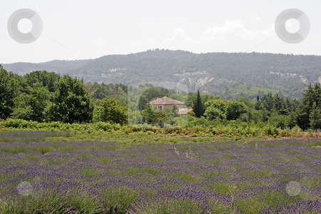 Lavender fields near Rustrel, Provence stock photo, Lavender fields near Rustrel, Luberon, Provence, Southern France by Lothar Hinz