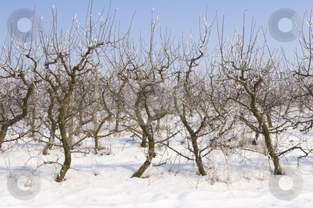 Apple orchard covered in snow stock photo, View of an apple orchard covered in snow by Mark Yuill