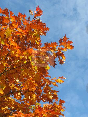 Colorful orange fall season leaves. stock photo, Colorful orange fall season leaves. by Stephen Rees