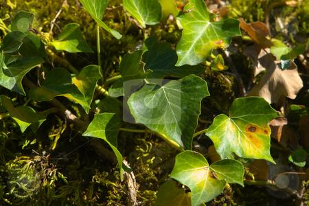 Efeu (Hedera helix) stock photo, Der Gemeine Efeu oder kurz Efeu (Hedera helix) ist eine Kletterpflanze aus der Gattung Efeu (Hedera) by Wolfgang Heidasch
