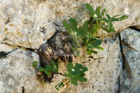 Feige (Ficus) in Felsspalte stock photo, Die Feigen (Ficus) sind eine Gattung tropischer Kletterpflanzen, Str?ucher und B?ume aus der Familie der Maulbeergew?chse (Moraceae). Der wohl bekannteste Vertreter ist die Echte Feige (Ficus carica), da ihre Fr?chte als Feigen bekannt sind. Quelle: Wikipedia by Wolfgang Heidasch