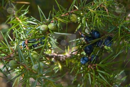 Wacholder (Juniperus) stock photo, Http://de.wikipedia.org/wiki/Wacholder by Wolfgang Heidasch