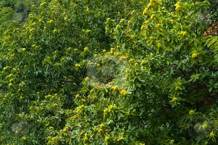 Esskastanien stock photo, Edelkastanie (Castanea sativa Mill.) bezeichnet eine Baumart aus der Familie der Buchengew?chse (Fagaceae), sowie deren essbare Fr?chte. Es werden auch die Bezeichnungen Maroni, Marone, Esskastanie, Essbare Kastanie, Echte Kastanie, Zahme Kastanie, Cheste, Cheschtene, Keschte, Keschde, K?schte, Kesten, Chegele verwendet. Quelle: Wikipedia by Wolfgang Heidasch
