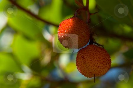 Westlicher Erdbeerbaum (Arbutus unedo), Fr?chte stock photo, Der Westliche Erdbeerbaum (Arbutus unedo) ist eine Laubgeh?lzart aus der Gattung der Erdbeerb?ume in der Familie der Heidekrautgew?chse (Ericaceae). Altert?mliche Namen sind Meerkirsche oder Hagapfel Quelle: Wikipedia http://de.wikipedia.org/wiki/Westlicher_Erdbeerbaum by Wolfgang Heidasch