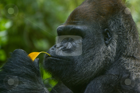 Silverback gorilla eating stock photo, Western Lowland silverback gorilla eating a leaf for lunch. by Darren Lee