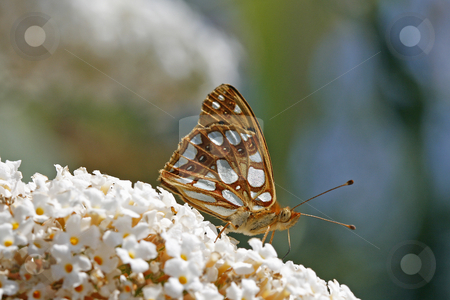 Queen of Spain Fritillary (Issoria lathonia) stock photo, Queen of Spain Fritillary (Issoria lathonia) by Lothar Hinz