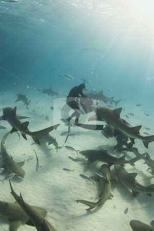 Feeding Time stock photo, A freediver reaches into the bait box to get a snack for a pack of circling Lemon Sharks (Negaprion brevirostris) by A Cotton Photo