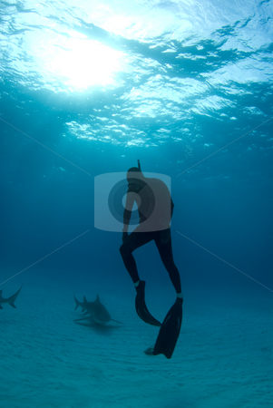 Freediver Ascent with Sharks stock photo, A freediver ascends back to the surface after spending some time interacting with Lemon Sharks by A Cotton Photo