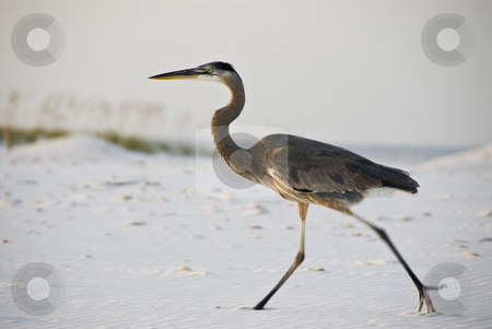 Great Blue Heron stock photo, A great blue heron (Ardea herodias) walks along a white beach by A Cotton Photo