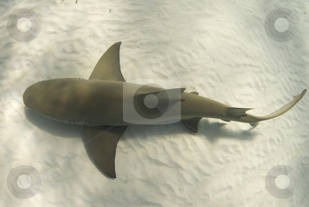 Lemon from Above stock photo, A lemon shark (Negaprion brevirostris) passes underneath along the ocean floor by A Cotton Photo