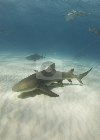 Lemon Sharks stock photo, Lemon Sharks (Negaprion brevirostris) cruise through the ocean in search of food by A Cotton Photo