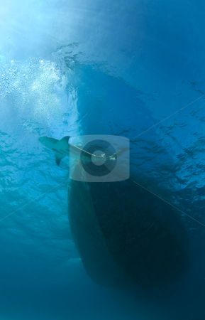 Shark and Boat stock photo, A lone Lemon Shark (Negaprion brevirostris) passes the bow of a boat by A Cotton Photo