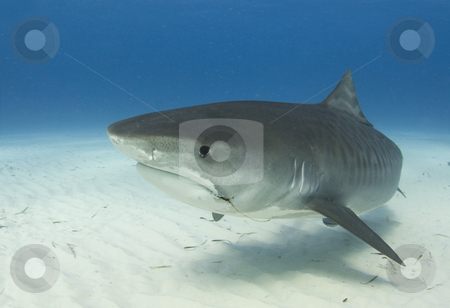 Tiger Shark Closeup Profile stock photo, A close up image of a Tiger Shark (Galeocerdo cuvier) swimming underwater by A Cotton Photo