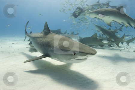 Tiger Shark with Frenzy stock photo, A Tiger Shark swims by the camera as Lemon Sharks frenzy for their share of food in the background by A Cotton Photo