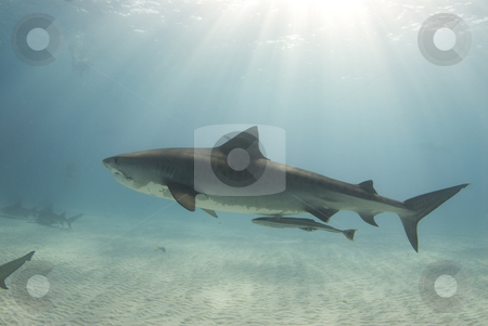 Tiger with Sunrays stock photo, A tigershark (Galeocerdo cuvier) swims through the ocean cast in rays from the sun as it cuts through the water by A Cotton Photo