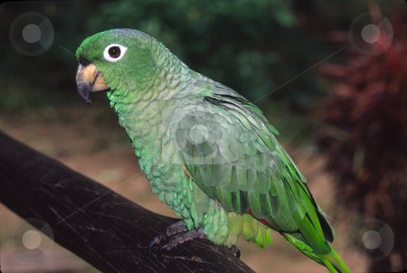 Amazon Parrot stock photo, An Amazon Parrot sits on a tree limb in the jungle. This parrot is found in South America. by Janie Mertz