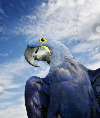 Hyacinth Macaw stock photo, Brilliant blue hyacinth macaw with a yellow ring around its eye. by Scott Griessel
