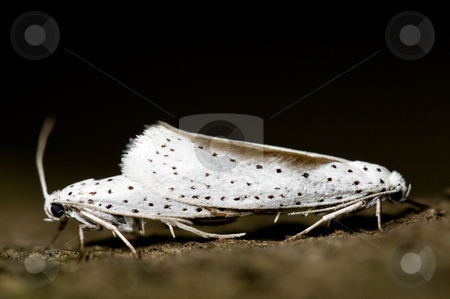 Ermine. Yponomeuta. stock photo, Ermine displaying sexual behavior. Yponomeuta. by Dariusz Majgier