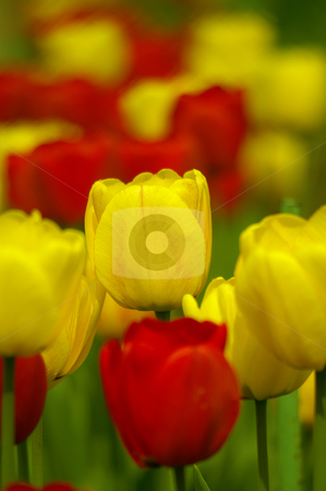 Colorful tulips in spring garden. stock photo, Colorful tulips in spring garden. by Marek Kosmal