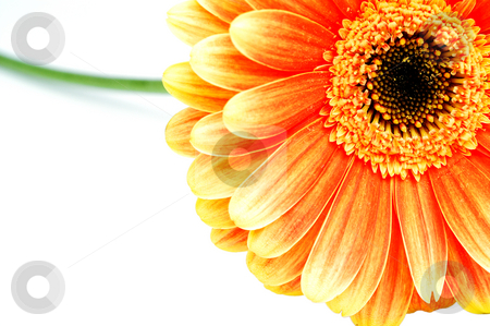 Orange gerbera isolated on white stock photo, Orange gerbera isolated on white by Marek Kosmal
