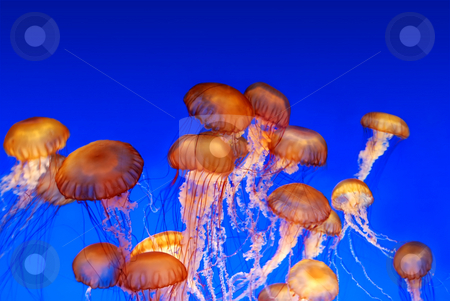 School of sea nettle jellyfish - Chrysaora fuscescens stock photo, School of sea nettle jellyfish - Chrysaora fuscescens on blue background by Denis Radovanovic