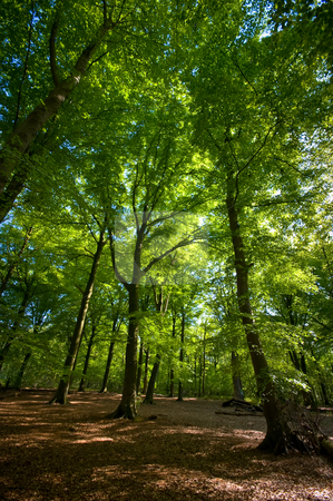 Summer forest  stock photo, Bright sumer forest with brown forest floor by Karin Claus