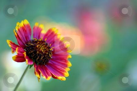 California Blanket Flower stock photo, Red and Yellow California Blanket Flower with natural background by Henrik Lehnerer
