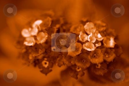 Lantana Sepia stock photo, Macro shot of Lantana blossoms converted to sepia by Henrik Lehnerer