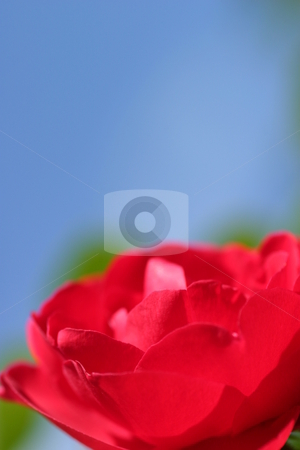 Red Rose Blue Sky stock photo, Red Rose with blue sky in the background. by Henrik Lehnerer