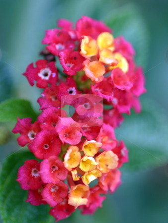 Lantana stock photo, Macro shot of pink and yellow Lantana blossoms by Henrik Lehnerer