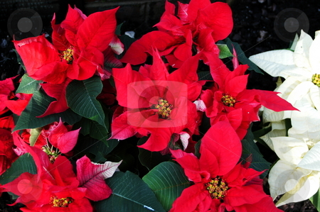 Poinsettia stock photo, Poinsettia plants in full bloom by Tim Markley