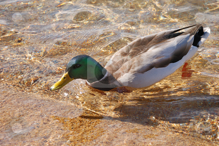 Wild duck stock photo, A male of wild duck in a water by Ivan Paunovic