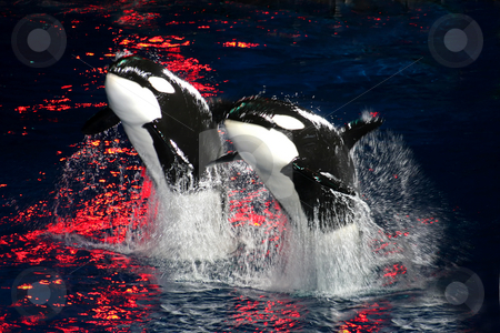 Killer Whales stock photo, 2 Killer Whales jumping in the air at night with bright red light. by Lucy Clark