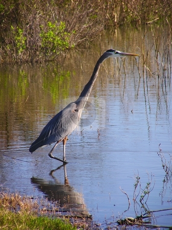 Great blue heron stock photo, A Great blue heron in a bayou by Robert Brown