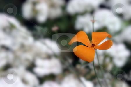 California Poppy stock photo, Orange California Poppy with white blurred flower in the background. by Henrik Lehnerer