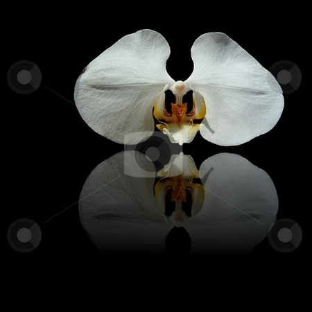 White Reflection stock photo, White orchid with yellow center and reflection on black background. by Henrik Lehnerer