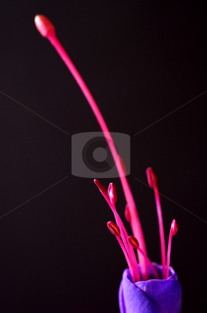 Pink Beansprouts stock photo, An abstract macro shot of the pink stamen on a single fuschia flower head, exploding from a purple cup, set upside down against a black background. by Tim Green