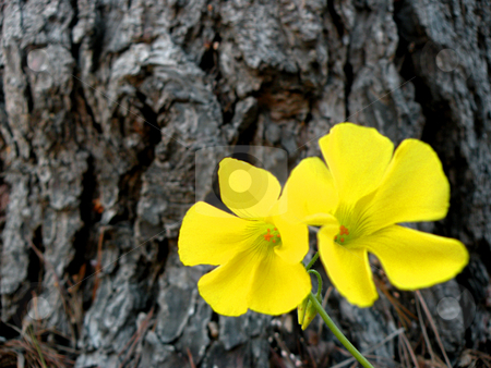 Yellow flowers stock photo, Yellow flowers against pine tree bark by Rob Wright