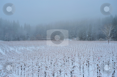 Winter Vineyard stock photo, A Vineyard covered in snow in the El Dorado Country foothills of California by Lynn Bendickson