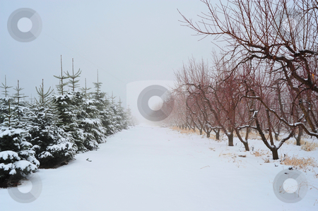 Christmas Tress and Apple Trees stock photo, Snow covered trees of an Apple Orchard and a Christmas tree grove in winter by Lynn Bendickson