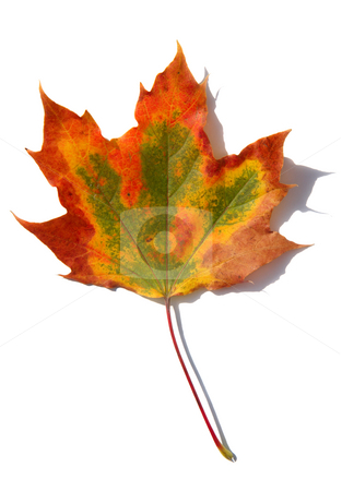 Isolated fall leaf. stock photo, Isolated fall leaf. by Stephen Rees