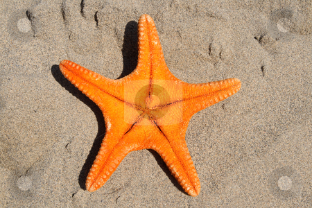 An orange starfish on the beach. stock photo, An orange starfish on the beach. by Stephen Rees