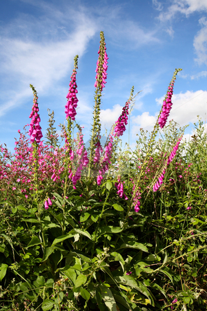 Wild foxgloves digitalis purpurea. stock photo, Wild foxgloves (digitalis purpurea) in a verge hedge, Cornwall, UK. by Stephen Rees