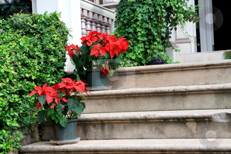 Flowery stairs stock photo, Colorful poinsettia on decorated stairs with hedge and ivy by Jack Schiffer