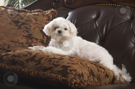 Maltese Puppy Relaxing stock photo, Maltese Puppy Relaxing on Her Pillow on the Couch by Andy Dean