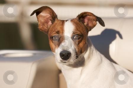 Jack Russell Terrier Portrait stock photo, Majestic Jack Russell Terrier Dog Portrait by Andy Dean